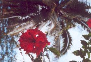 Hibiscusblüte Wantoat