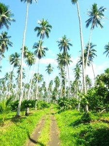 Kokosnussplantage mit Kakaopflanzen darunter